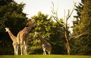 Adaptación de la jirafa en las praderas