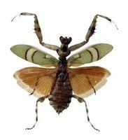 Las diferencias entre una Mantis y un insecto palo de la metamorfosis