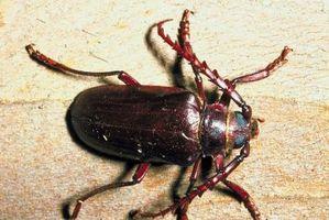 Lista de insectos de bosque de coníferas de dominar