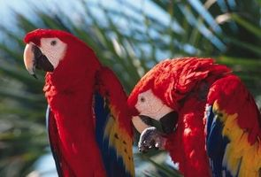Cómo identificar un pájaro parlante