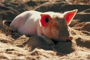 Como leer latín del cerdo