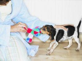 Cómo detener una cachorra Beagle de dentición
