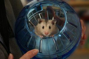 ¿Por qué Hamsters consiguen media cuando están embarazadas?