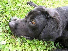 Síntomas del Tumor de mastocitos canina