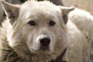 Uvas e insuficiencia renal en perros