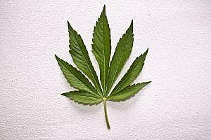 Cómo saber si su hijo es Marijuana(Pot) de fumar
