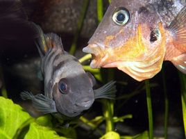 Peces de acuario y enfermedades Gill