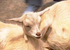 Etapas del trabajo en una cabra