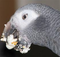 Cómo alimentar africanos grises