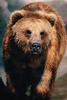 Instrucciones paso a paso sobre cómo dibujar la cara de un oso