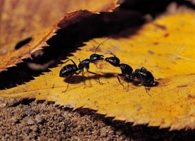 Cómo deshacerse de las hormigas en los libros