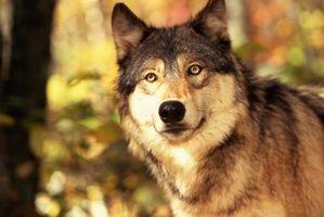 Poblaciones en peligro de extinción y especies de lobos grises