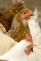 Características de una gallina madre