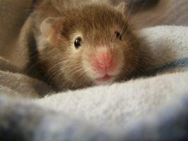 Enfermedad de Cushing en Hamsters