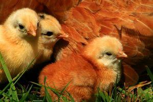 Cómo tratar lesiones a los pollos bebé