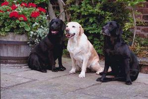 Qué hacer para la piel aceitosa en un Labrador Retriever