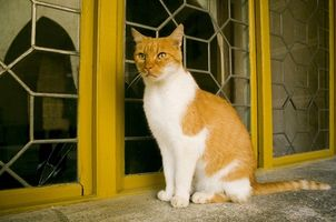Cómo matar las garrapatas en gatos