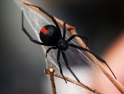 Cómo identificar a las arañas por tamaño y Color