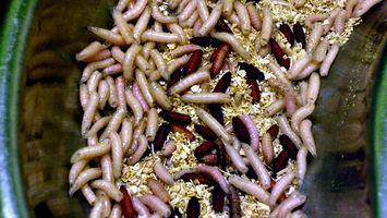 Ciclo de vida de los gusanos