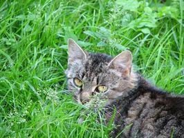Los síntomas de un gato se ha comido un lirio