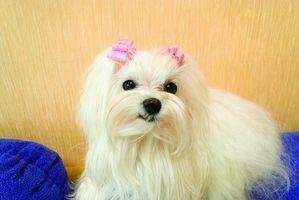 Trombocitopenia en perros malteses