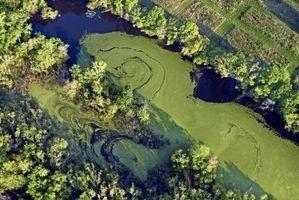 ¿Cómo se multiplican las algas?