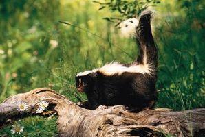 Cómo repeler mapaches y zorrillos