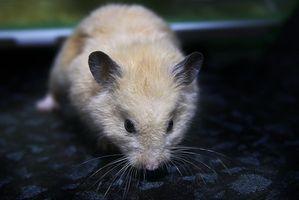 Enfermedades por Hamsters