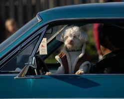 Cómo impedir que los perros ladrando en el coche