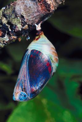 ¿Qué sucede después de que una mariposa pone los huevos?