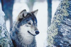 Cómo dibujar lobos realista