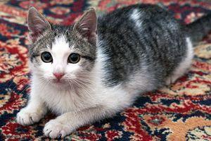 Estrés del gato y la diarrea