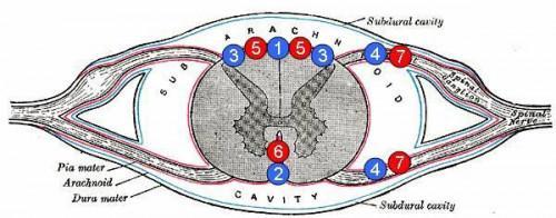 ¿Lo que se hace de la médula espinal?