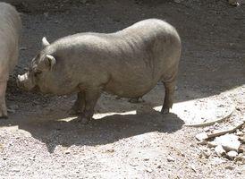 Cómo deshacerse de la grasa en cerdos de la demostración