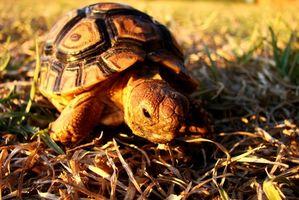 Información de tortuga rusa