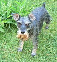 Principales problemas de salud de los perros Schnauzer