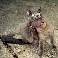 Ciclo de vida de las pulgas de gato