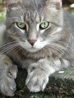 Cómo obtener una muestra de orina de un gato