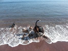 Cómo entrenar un cachorro de Basset Hound a buscar una pelota