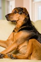 Cómo cuidar de los perros durante el ciclo de calor