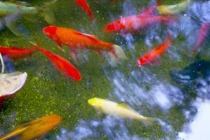 Cómo reducir los nitratos y la alcalinidad en un estanque de Koi