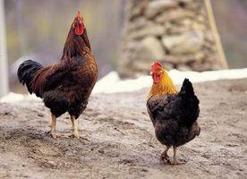 ¿Cómo cuidar de mis gallos y gallinas?