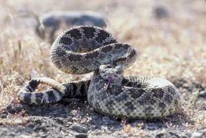 Serpientes de cascabel nativo de nuevo México