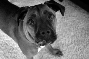 Boxeador perros y la ansiedad por separación