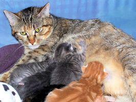 Signos de enfermedad en los gatos embarazados