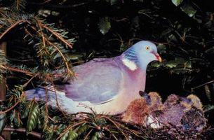 Cómo saber el sexo de una paloma