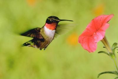 Los ciclos de vida de los colibríes