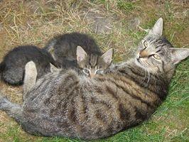 Gato embarazo y nacimiento