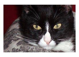 Enfermedad periodontal en los gatos