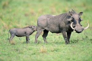 Cómo criar a un cerdo salvaje